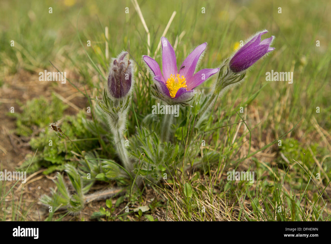 Common Pasque Flower (Pulsatilla vulgaris) - Stock Image