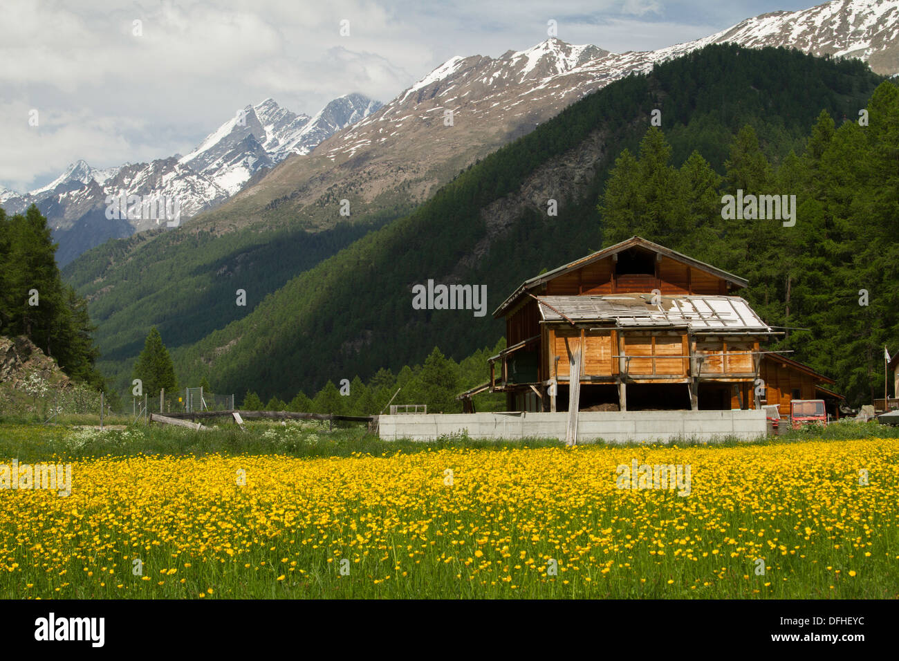 Swiss Chalet and Buttercup meadow with Alps in the background - Stock Image