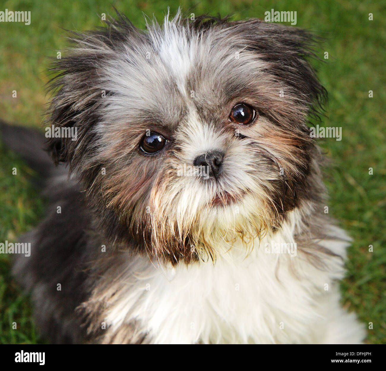 Close Up Of A Cute Miniature Shih Tzu Puppy Stock Photo 61238873