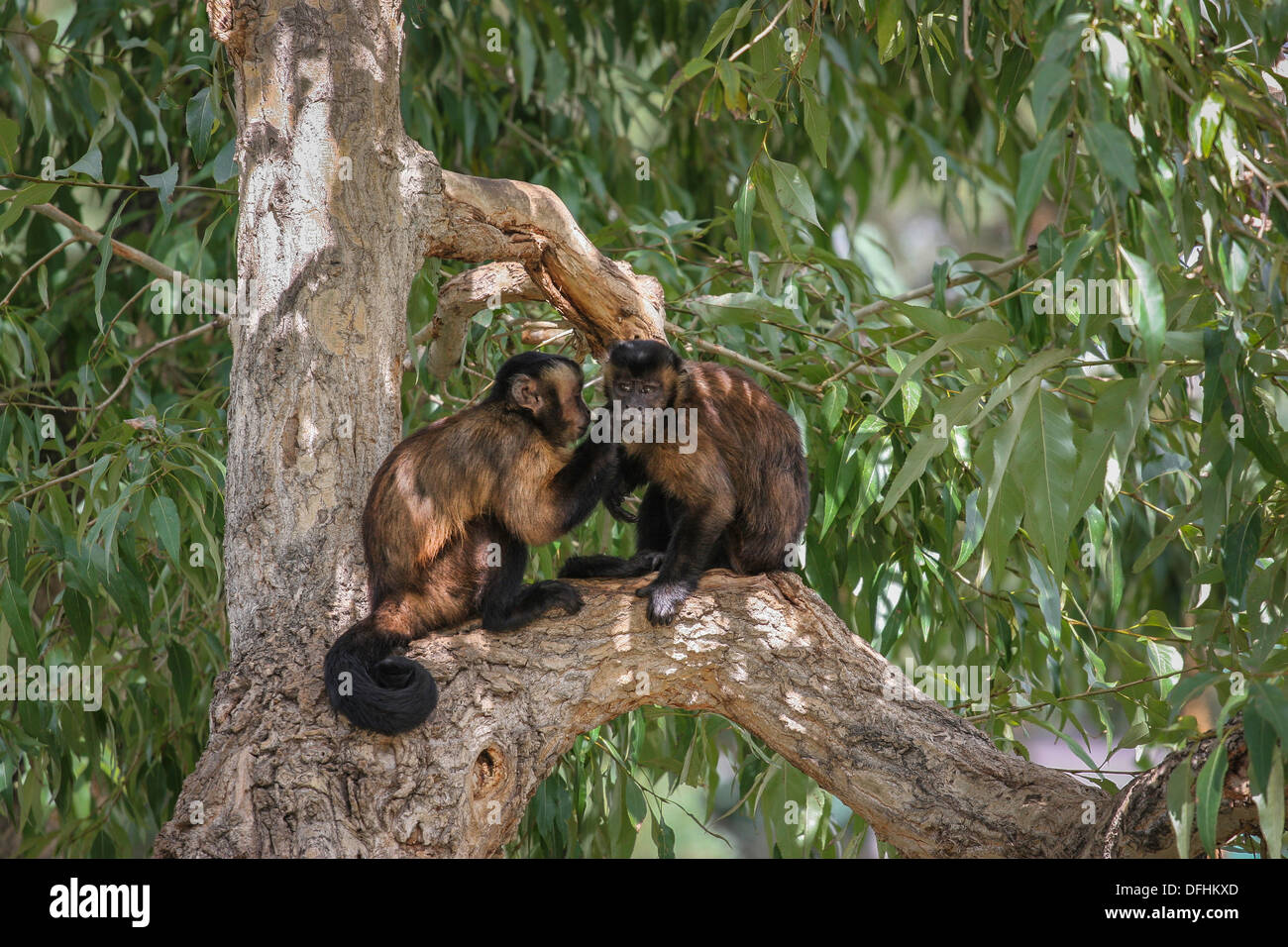 Grooming Tufted Capuchin monkeys, Denver Zoo, Denver, Colorado, USA Stock Photo