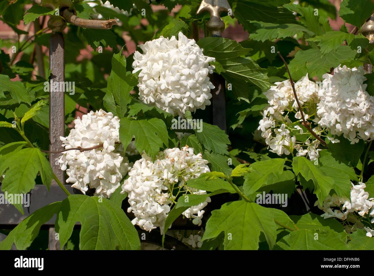 Green bush white flowers stock photos green bush white flowers the buds of white flowers on a green bush on a bright sunny day mightylinksfo