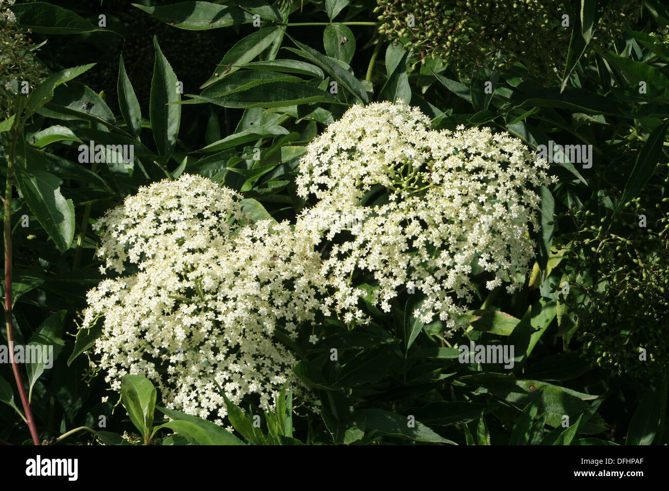 Bunches Of White Flowers Stock Photos Bunches Of White Flowers