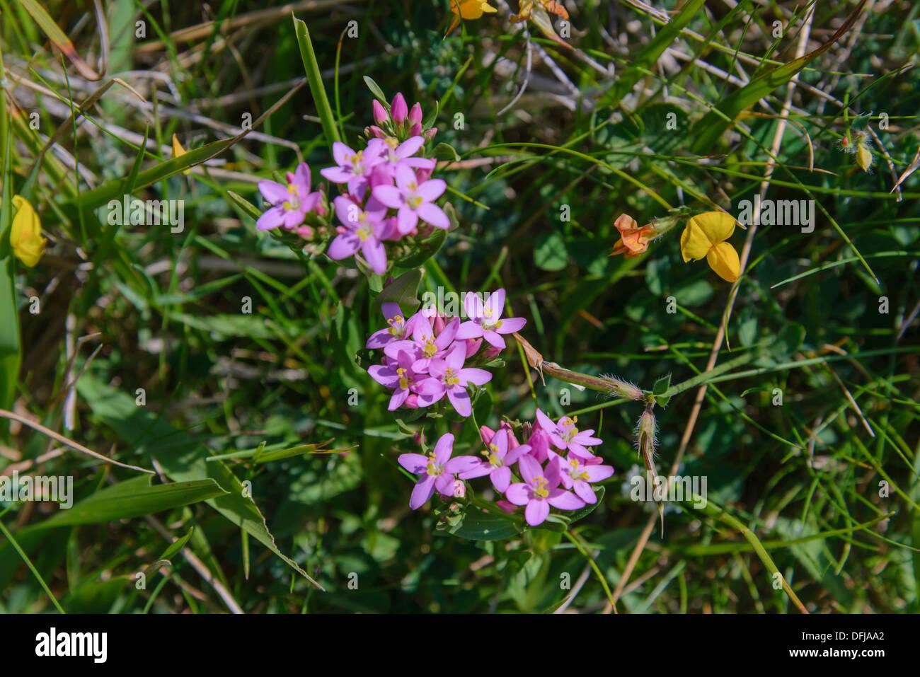 Common Centaury, Centaurium erythraea, Wildflowers, Dorset, England - Stock Image