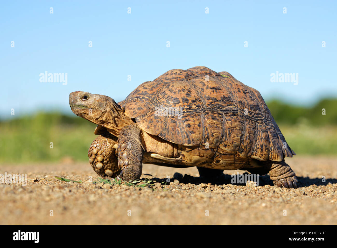 Leopard or mountain tortoise (Stigmochelys pardalis), South Africa - Stock Image