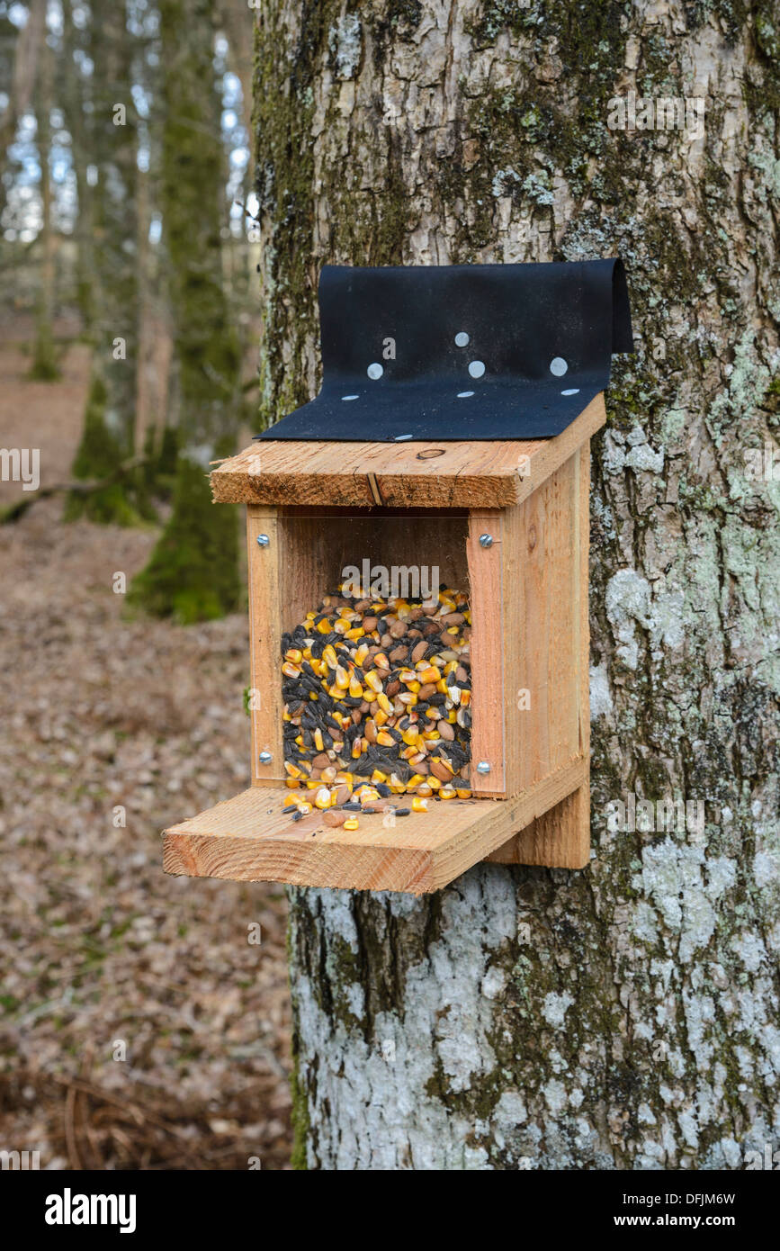 Squirrel feeder used for tracking the presence of red and grey squirrels - Stock Image