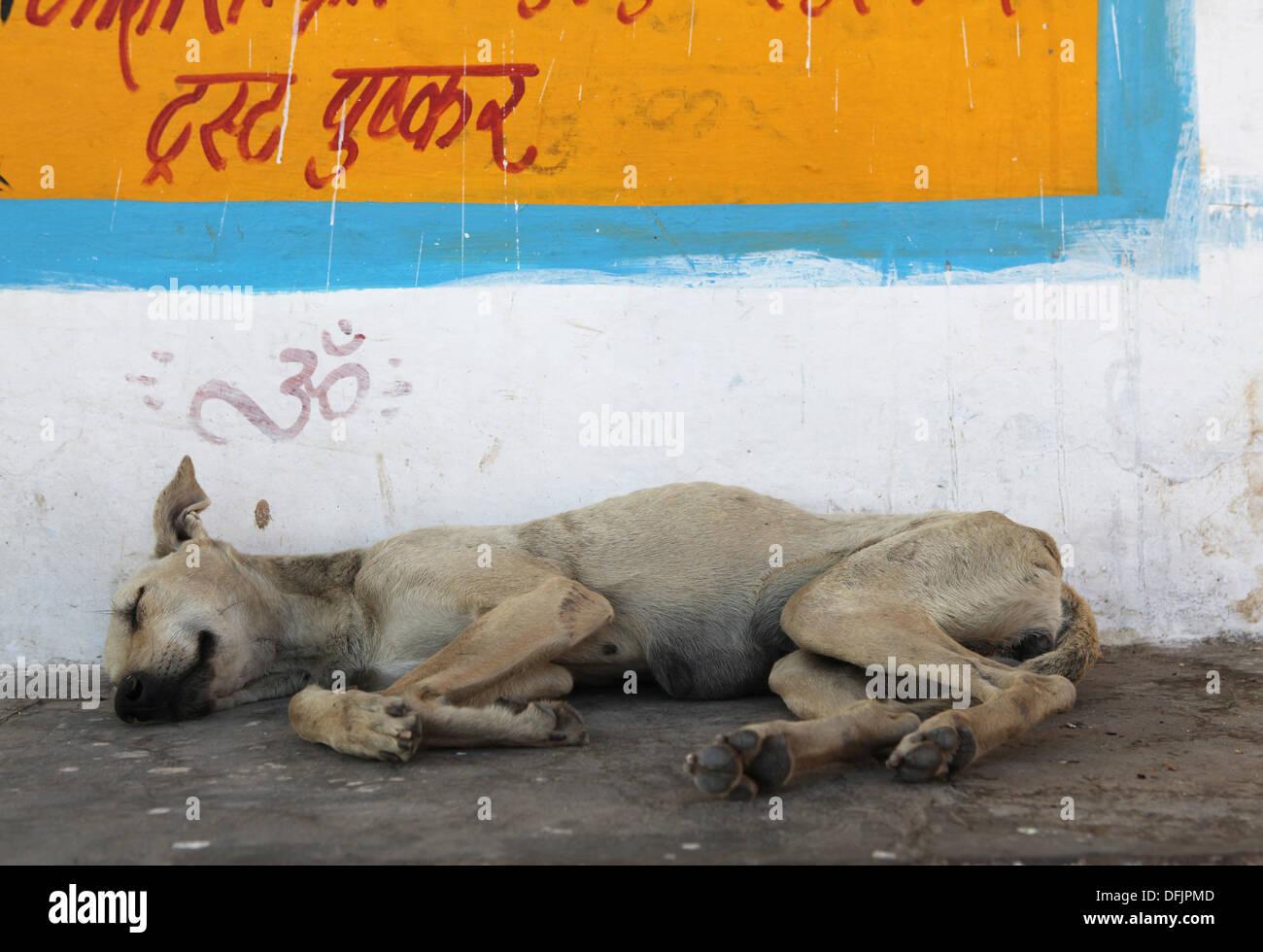 Dog sleeping on a sidewalk in Pushkar,Rajasthan,India. - Stock Image