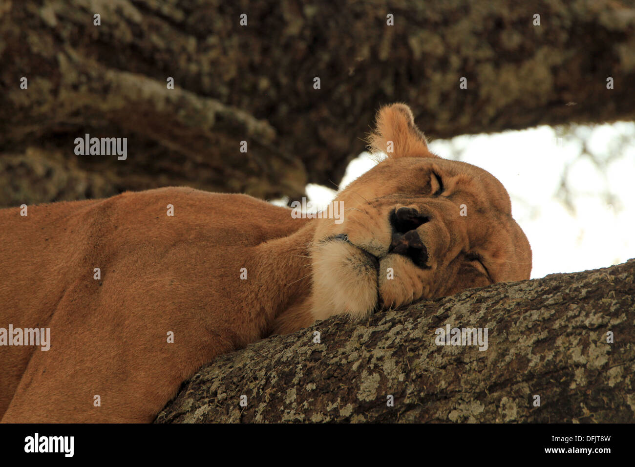 Lioness (Panthera Leo) Napping in a Tree, Serengeti, Tanzania - Stock Image