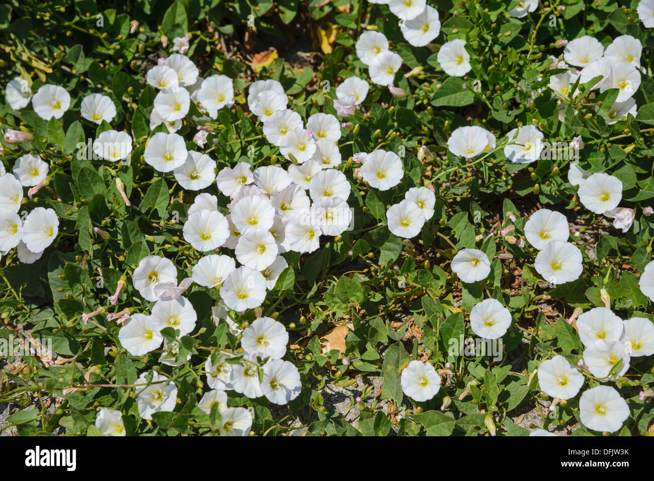 Field Bindweed, Convolvulus arvensis, White variant, Wildflowers, Dorset, England - Stock Image
