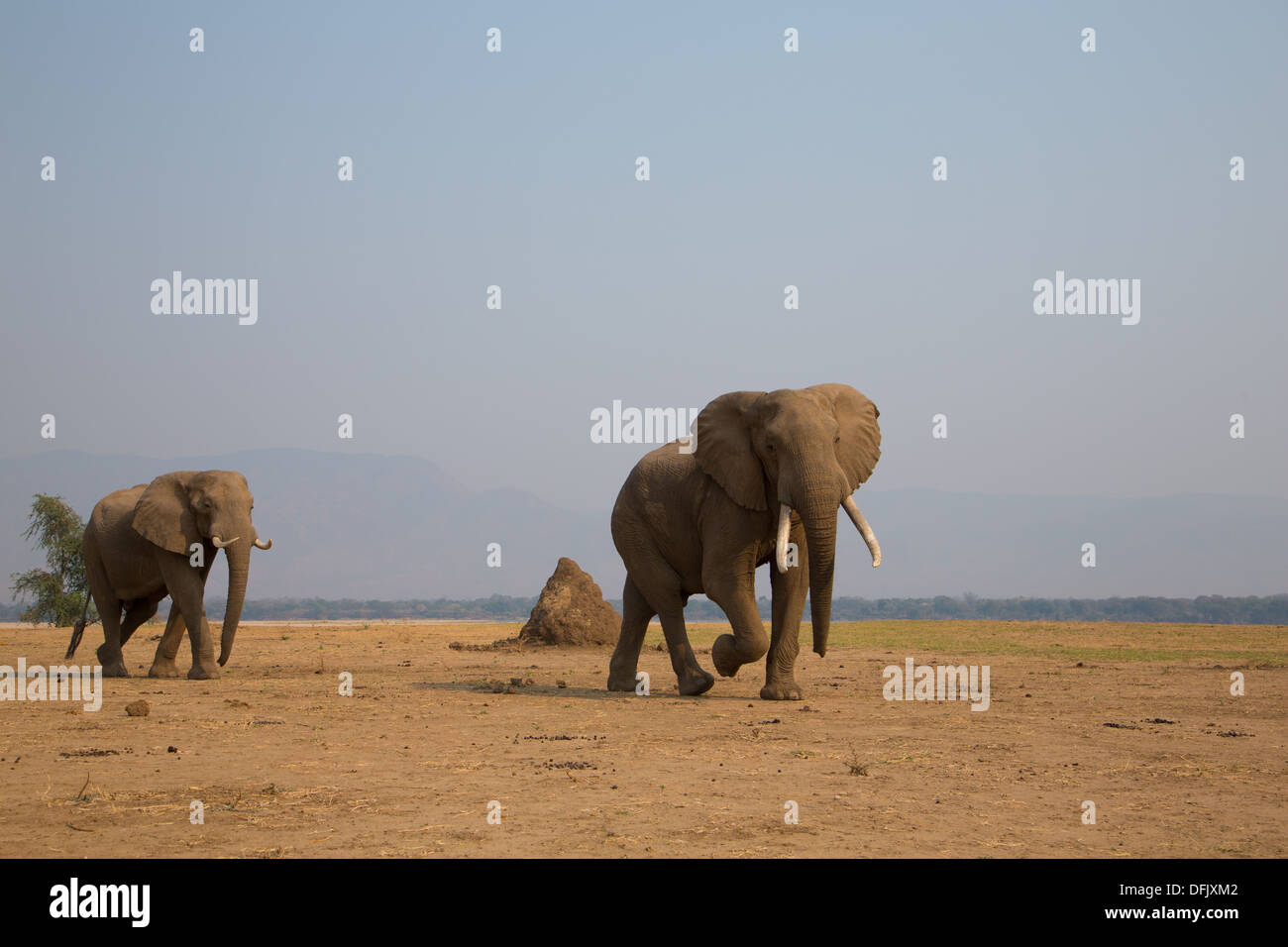 Two African elephants walking across dry plain by the Zambezi river - Stock Image