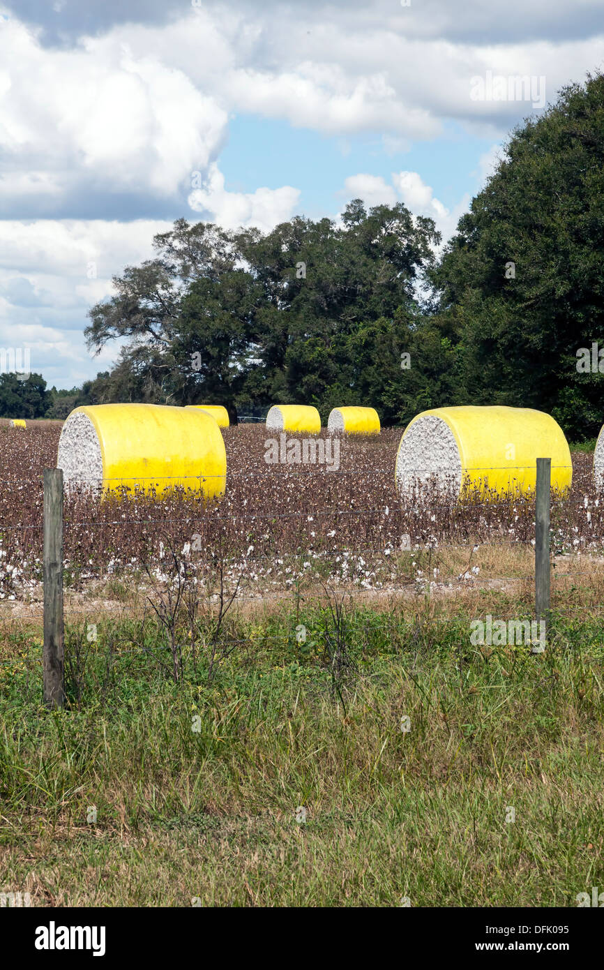 Cotton bales in a cotton field in rural north central Florida after harvesting. - Stock Image