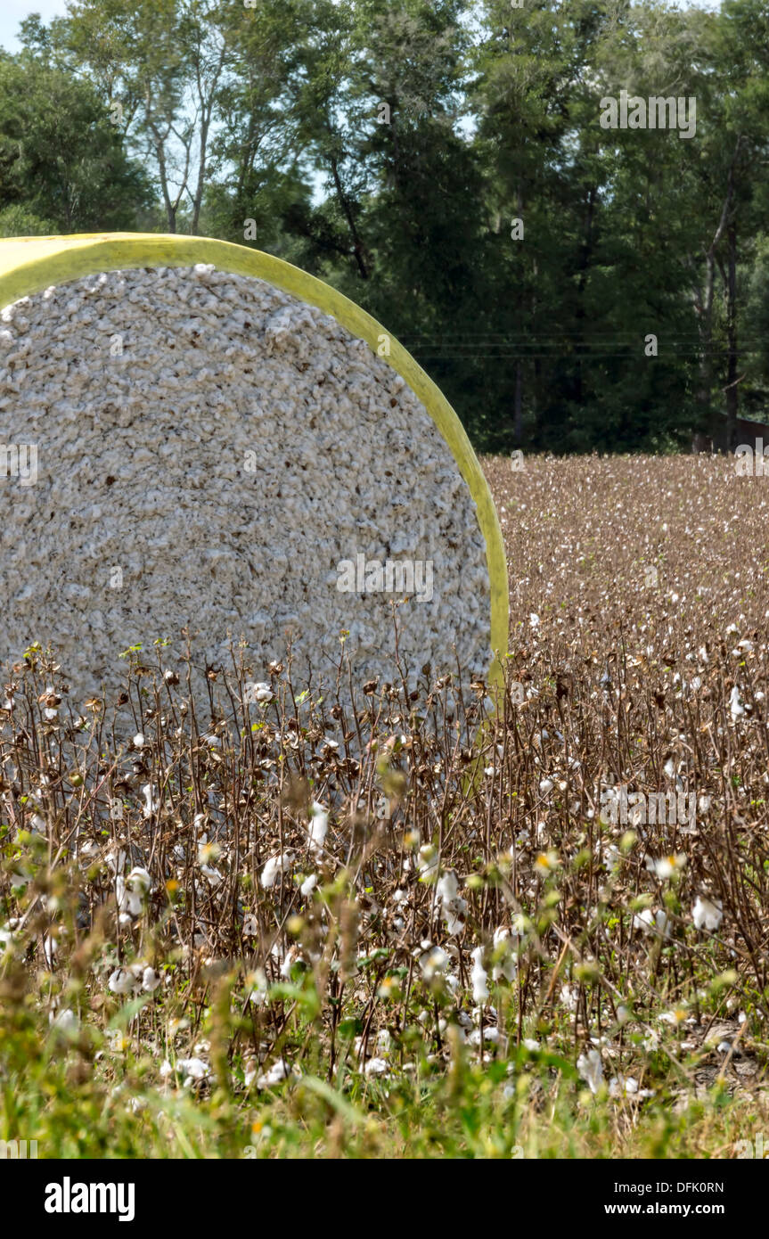 Cotton bale in a cotton field in rural north central Florida after harvesting. - Stock Image