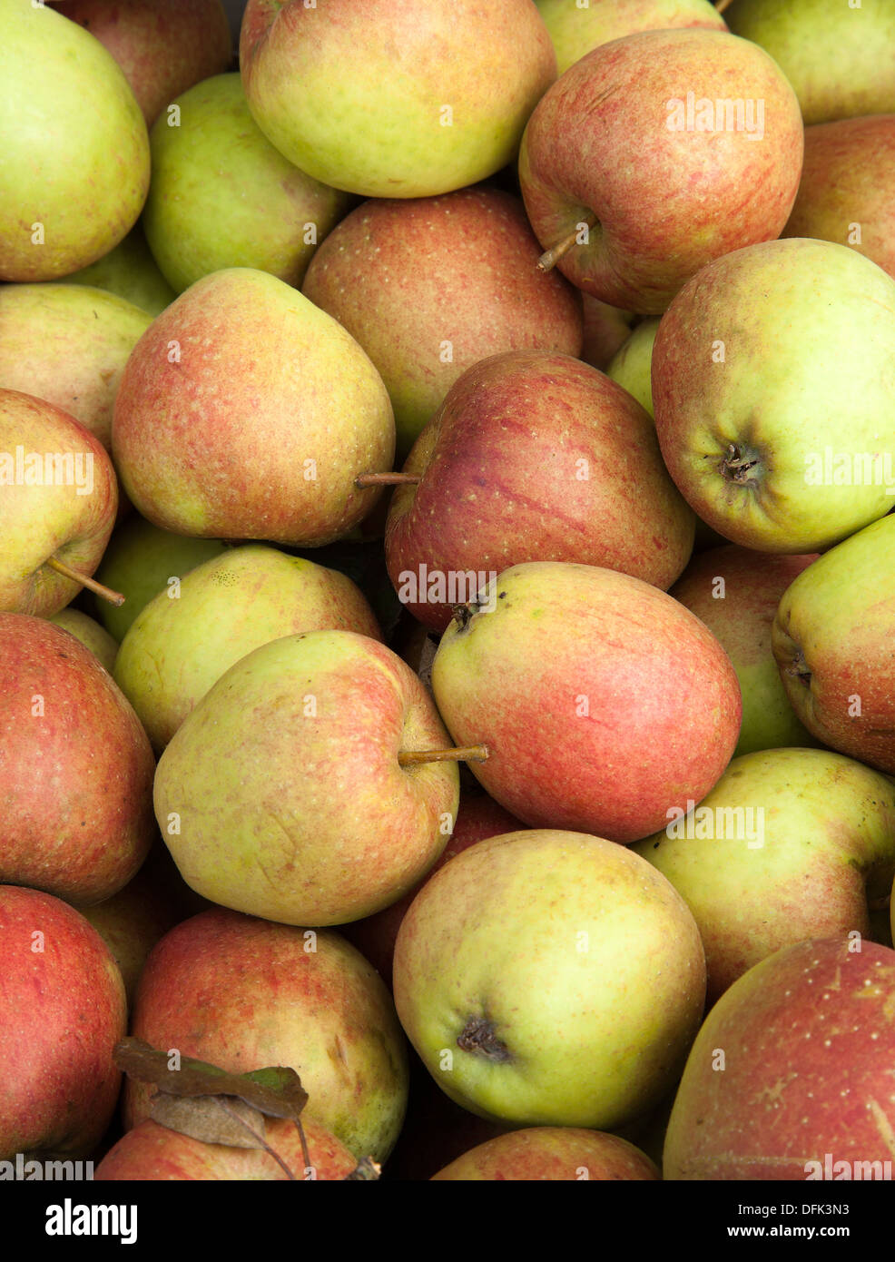 Imperfect Orchard fruits of Autumn_Crispin apples_ Mutsu (or Crispin) is a high quality apple from Japan - Stock Image
