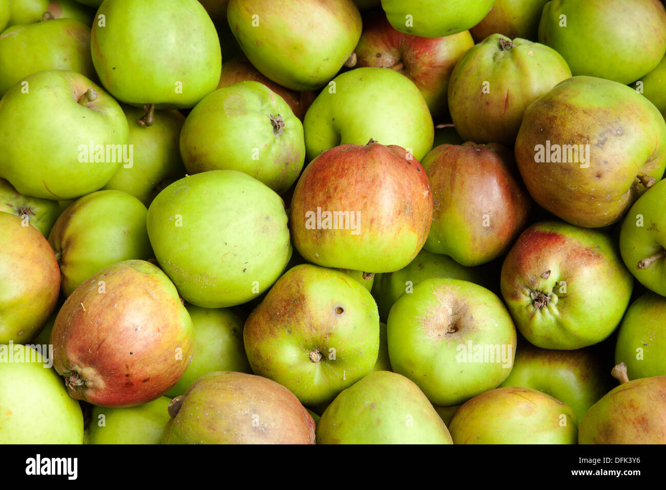 Imperfect Orchard fruits of Autumn_Scotch Bridget apples_ Scottish cooking apple that is also widely-grown in north-west England - Stock Image