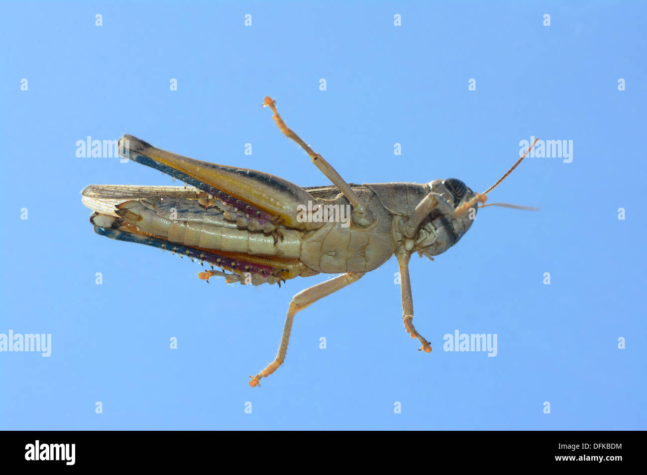 Grasshopper from below - Stock Image