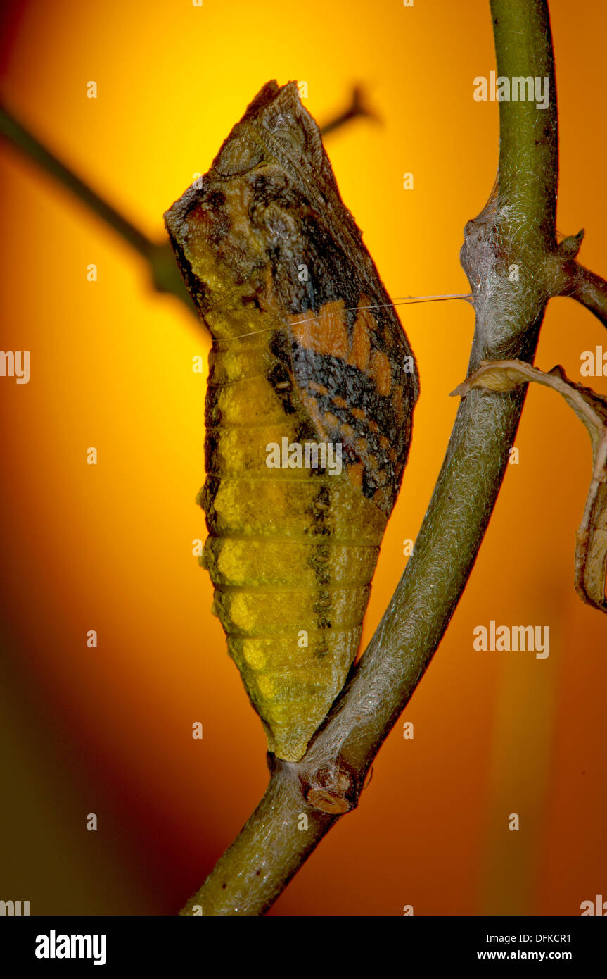 Pupa, swallowtail butterfly - Stock Image