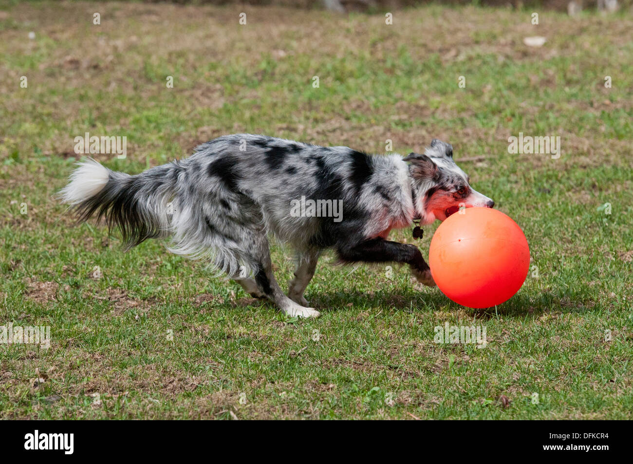 Border collie 'herding' (chasing) an exercise ball - Stock Image