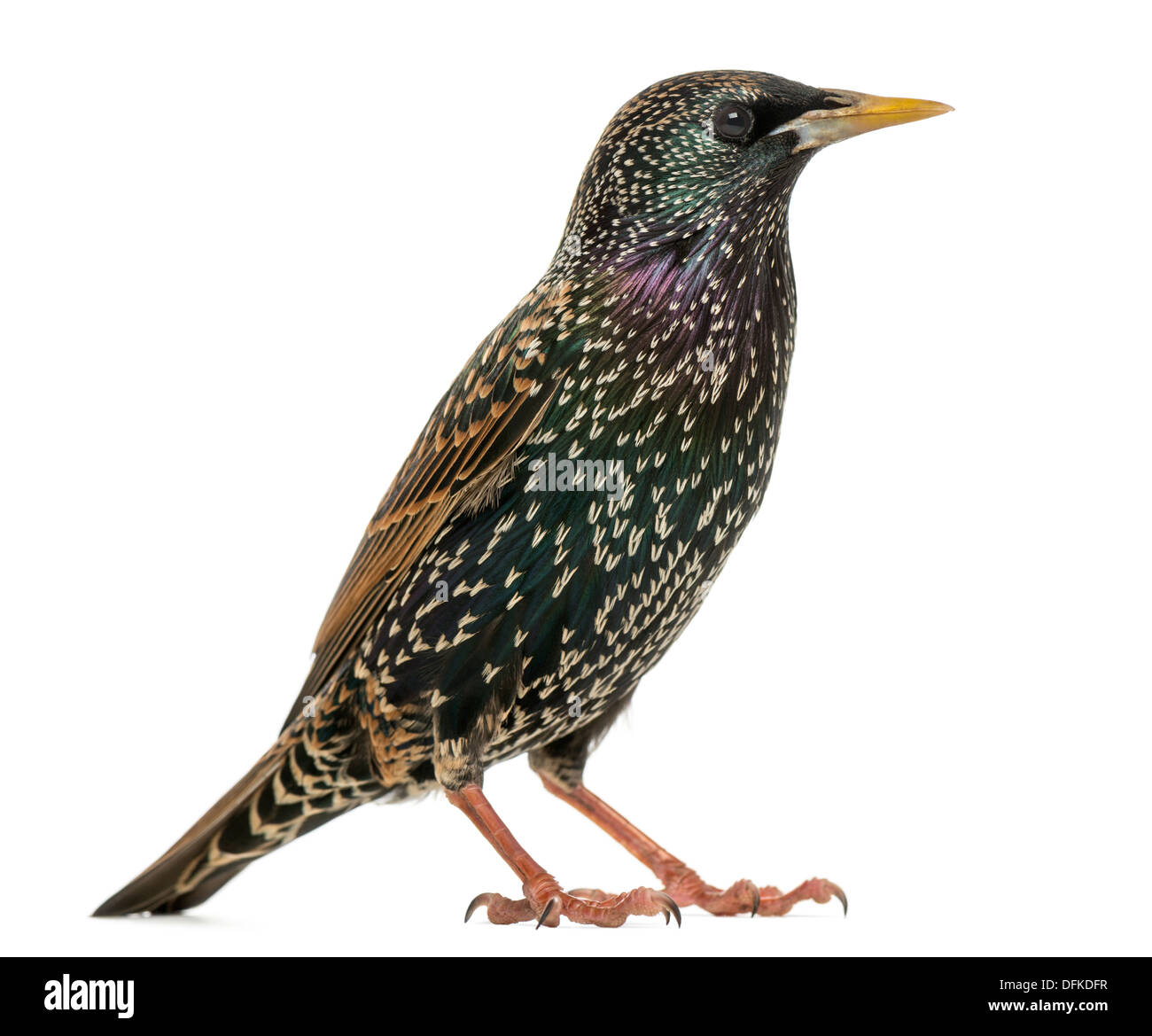 Side view of a Common Starling, Sturnus vulgaris, against white background - Stock Image