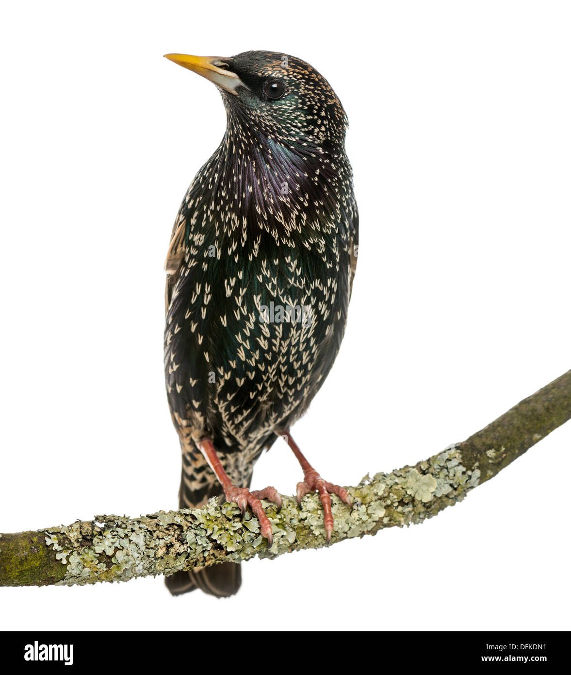 Common Starling perching on a branch, Sturnus vulgaris, against white background - Stock Image