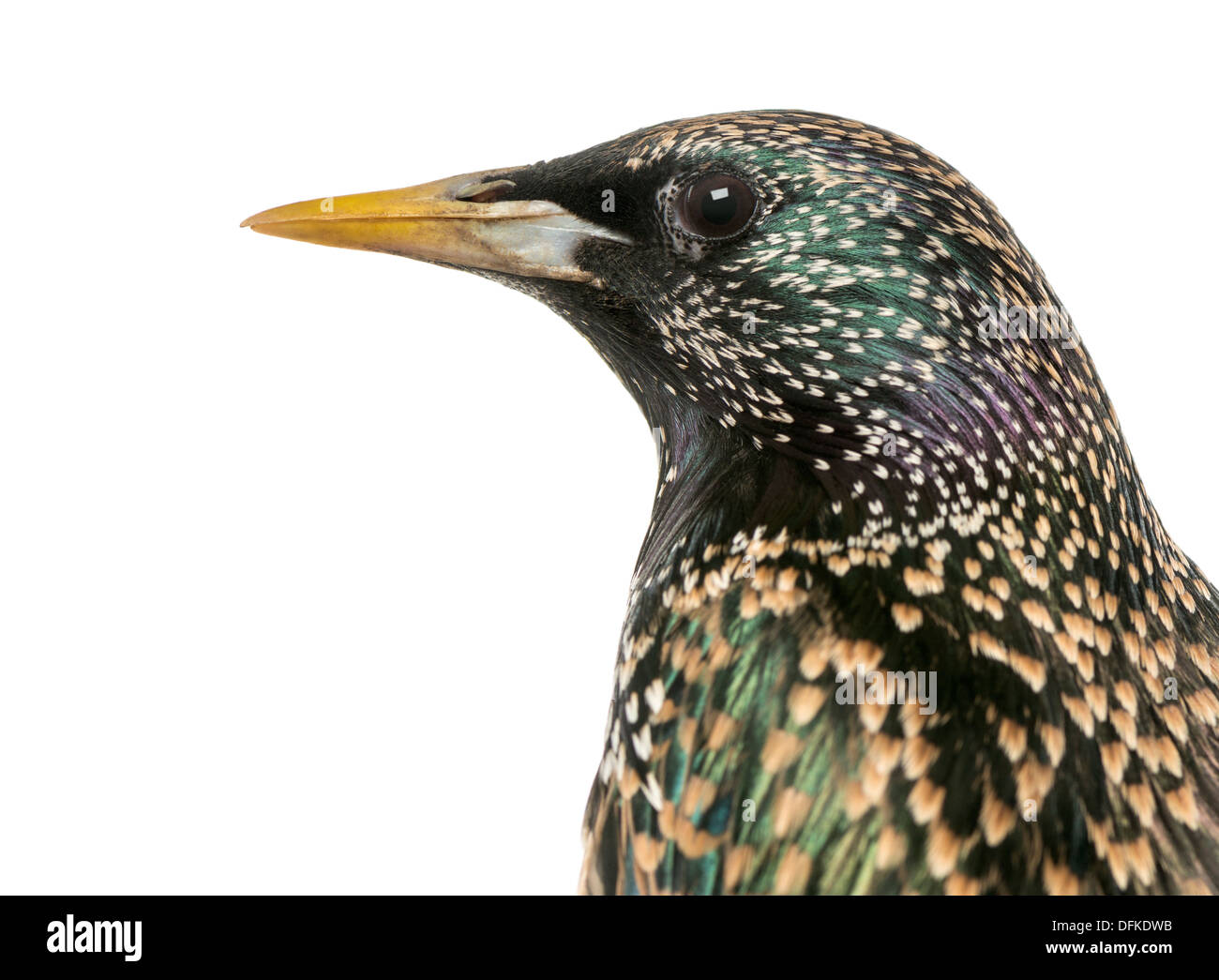 Close-up of a Common Starling, Sturnus vulgaris, against white background - Stock Image