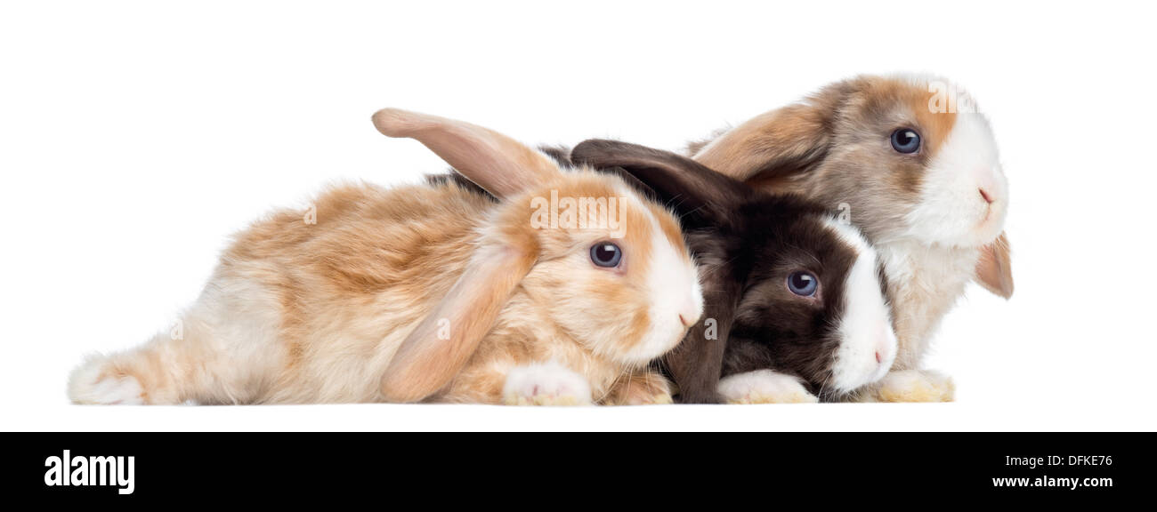 Group of Satin Mini Lop rabbits against white background - Stock Image
