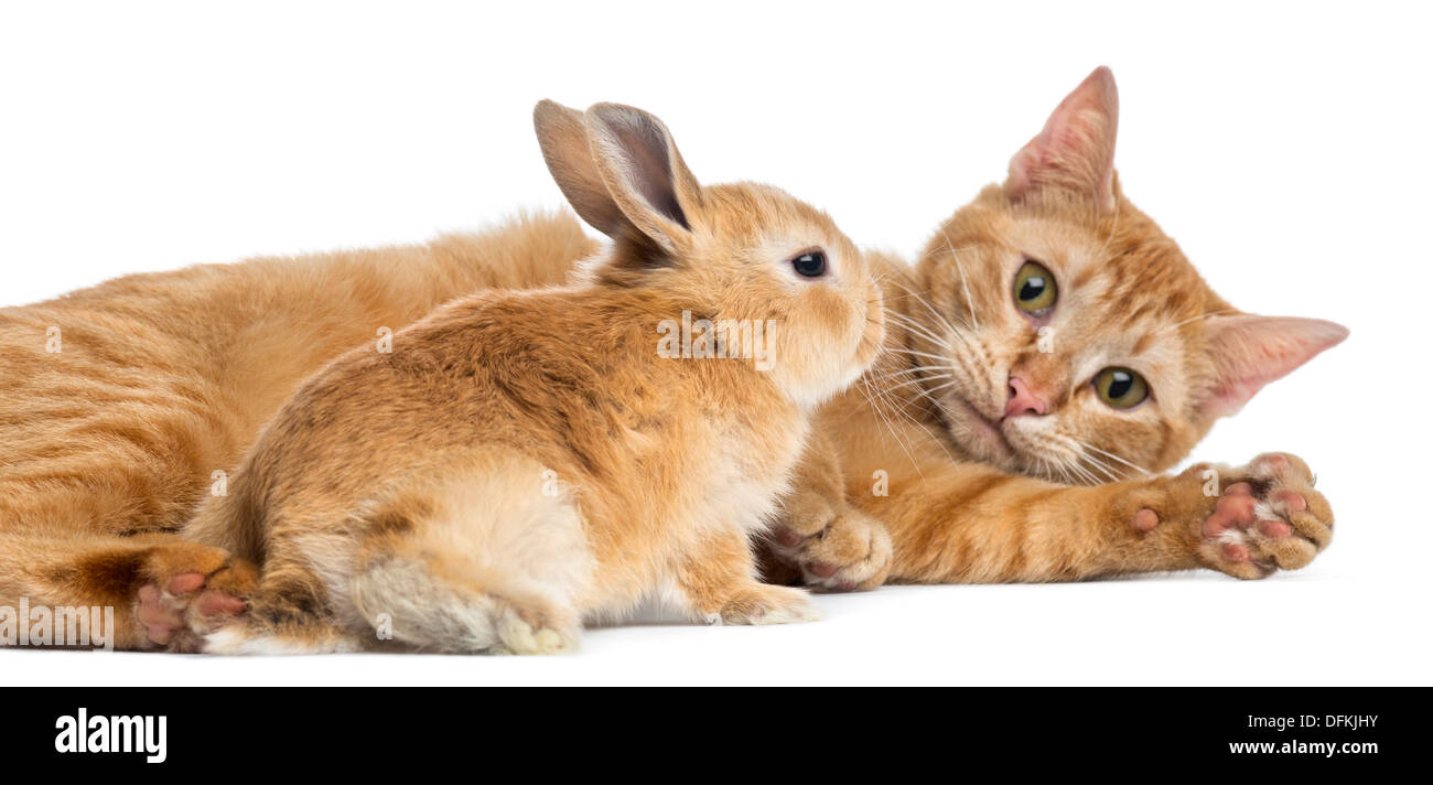 Cat and Rex dwarf rabbit against white background - Stock Image