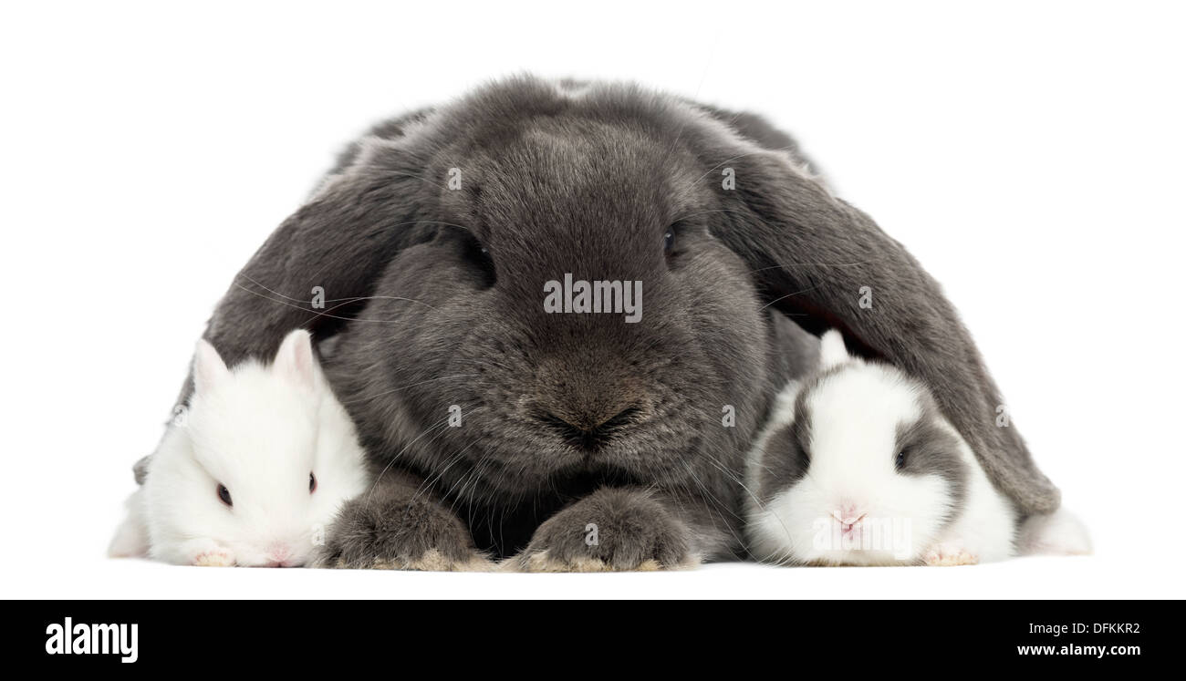 Lop-eared rabbit and young rabbits against white background - Stock Image