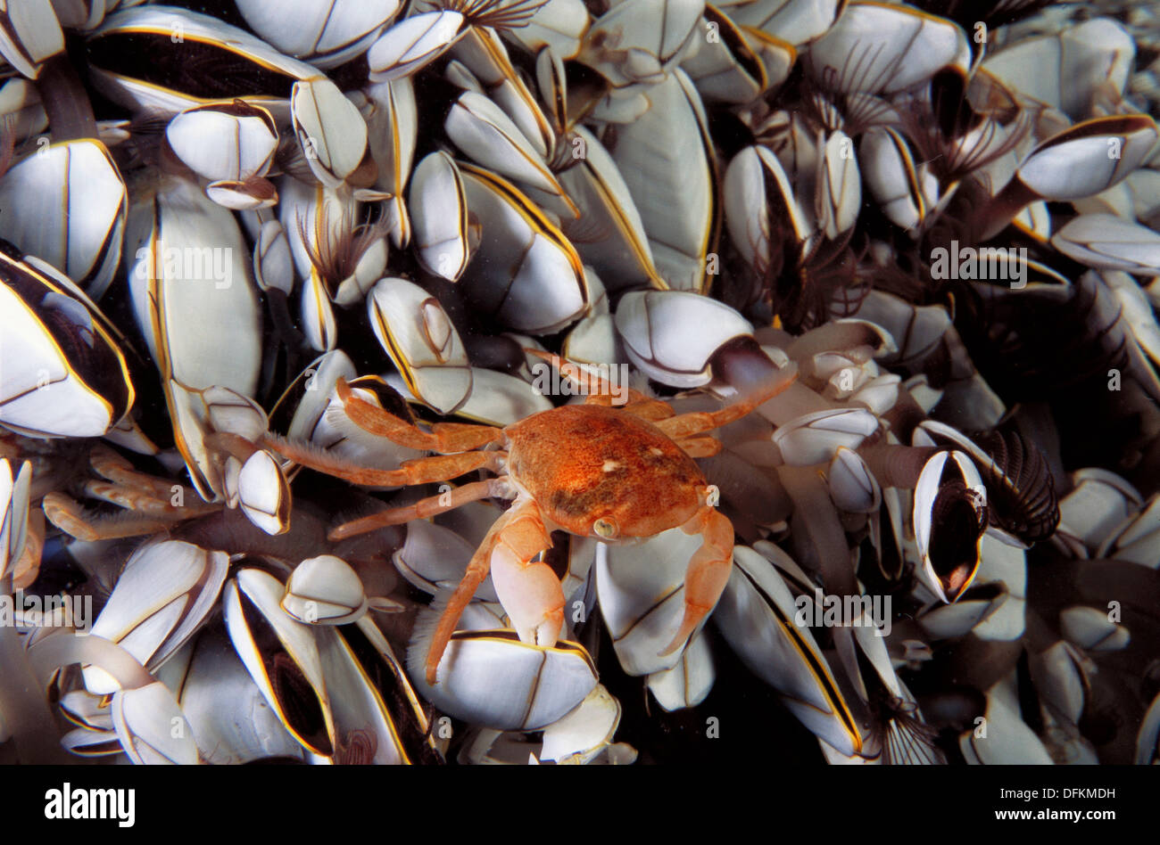 Eastern Atlantic Galicia Spain Oceanic crab in the middle of Gooseneck barnacle Pinoferes pinofrese - Stock Image