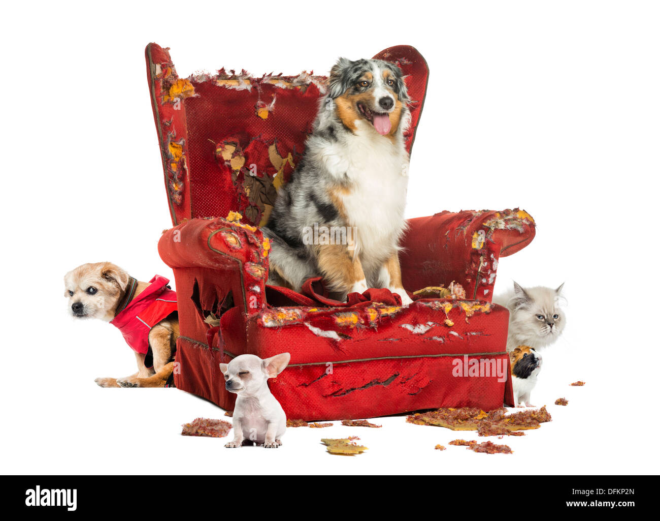 Group of pets on destroyed armchair on white background - Stock Image