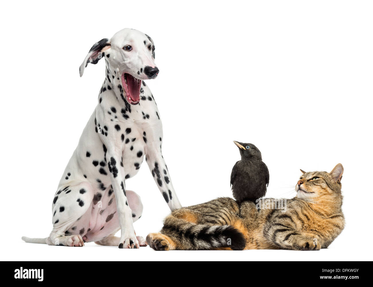Cat and Jackdaw looking at a Dalmatian yawning, against white background - Stock Image