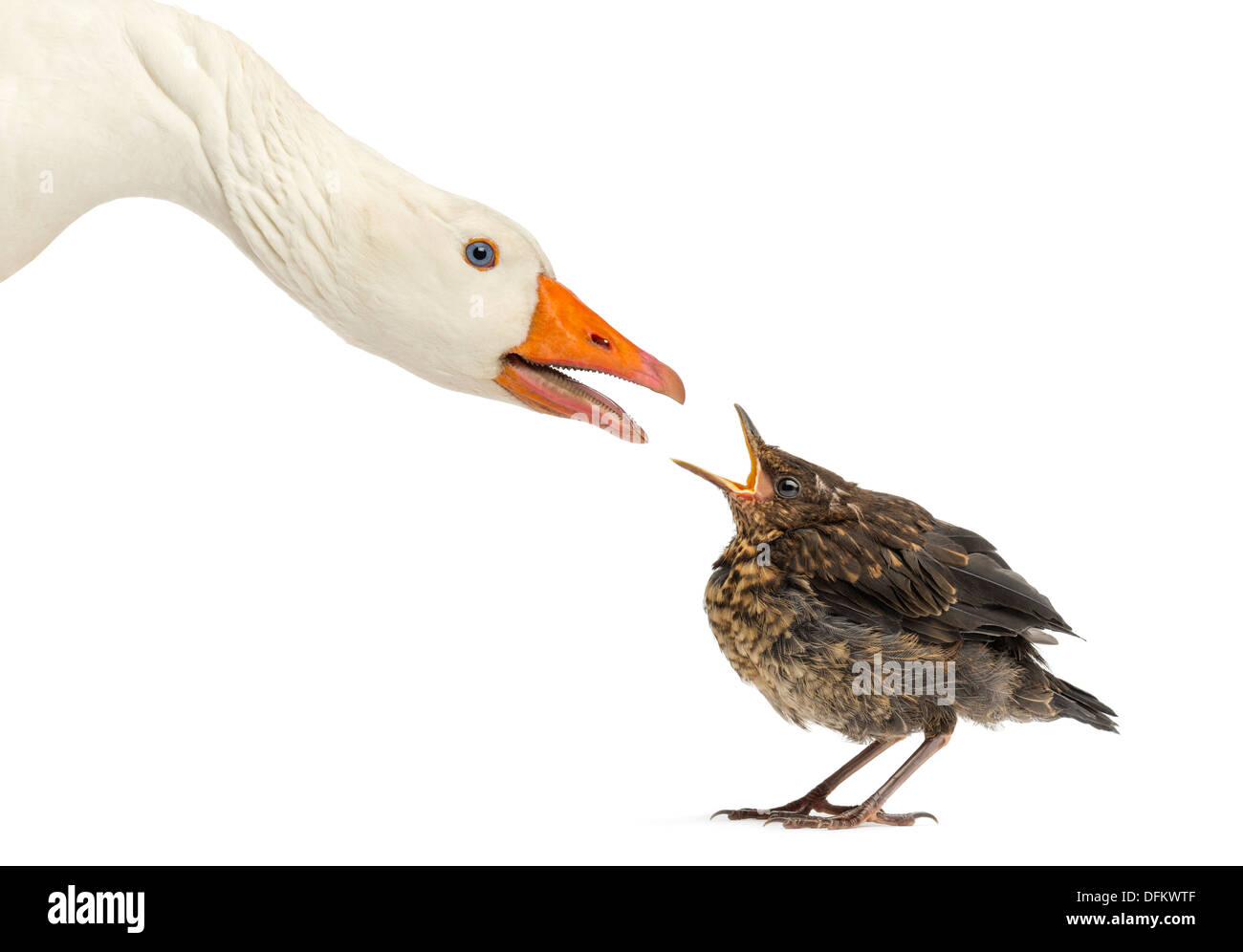Side view of a Domestic goose and a Common Blackbird facing each other against white background - Stock Image