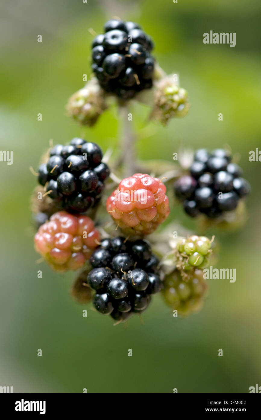 blackberry, rubus fruticosus Stock Photo