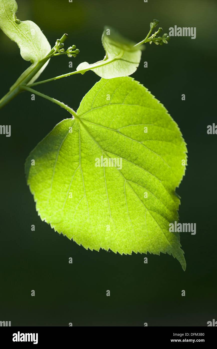 large-leaved linden, tilia platyphyllos Stock Photo