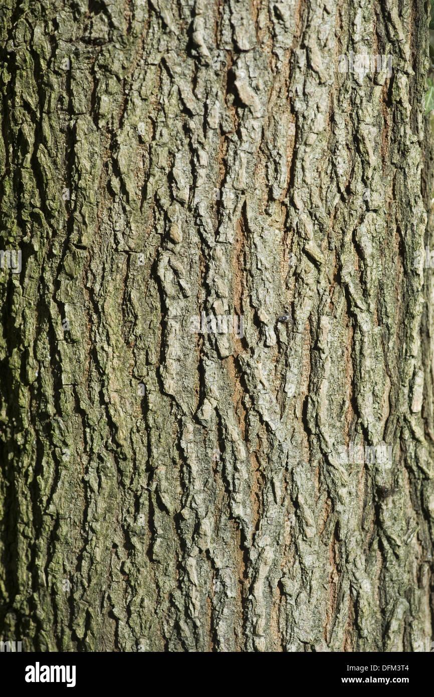 wych elm, ulmus glabra - Stock Image