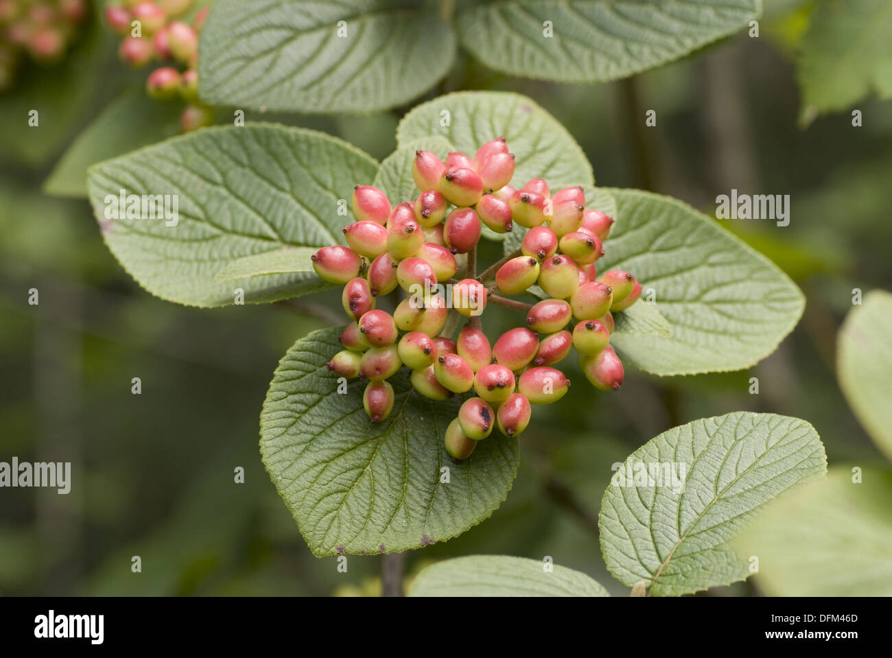 wayfaring tree, viburnum lantana - Stock Image