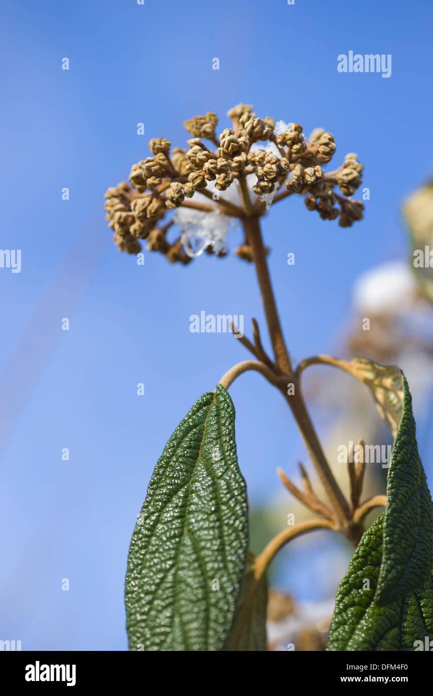 leatherleaf viburnum, viburnum rhytidophyllum - Stock Image