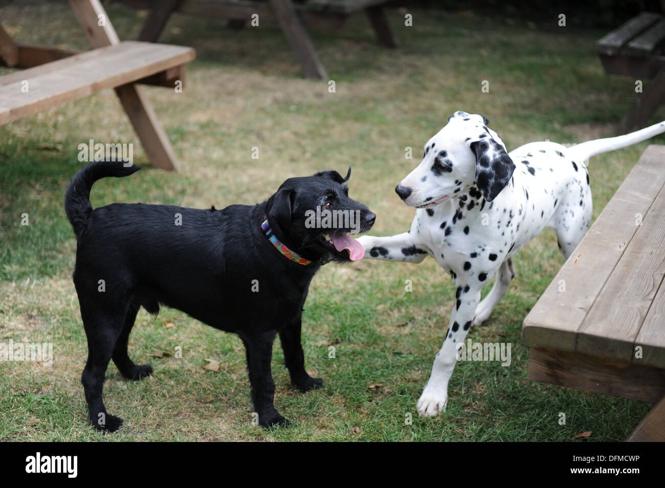 Dalmatian puppy spotty dog playing with black dog. Cute puppy playing with older dog - Stock Image