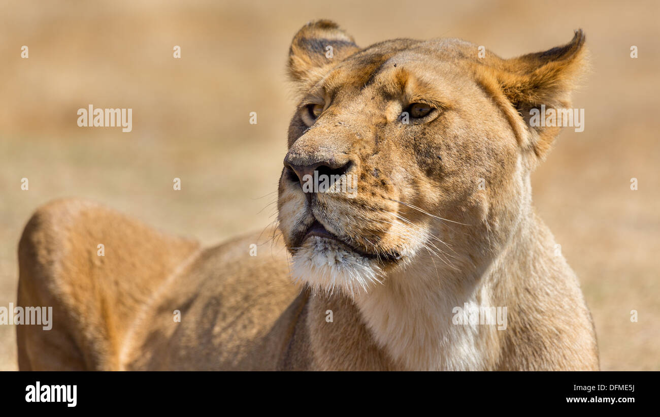 A closeup shot of a lioness at a National park in South Africa - Stock Image