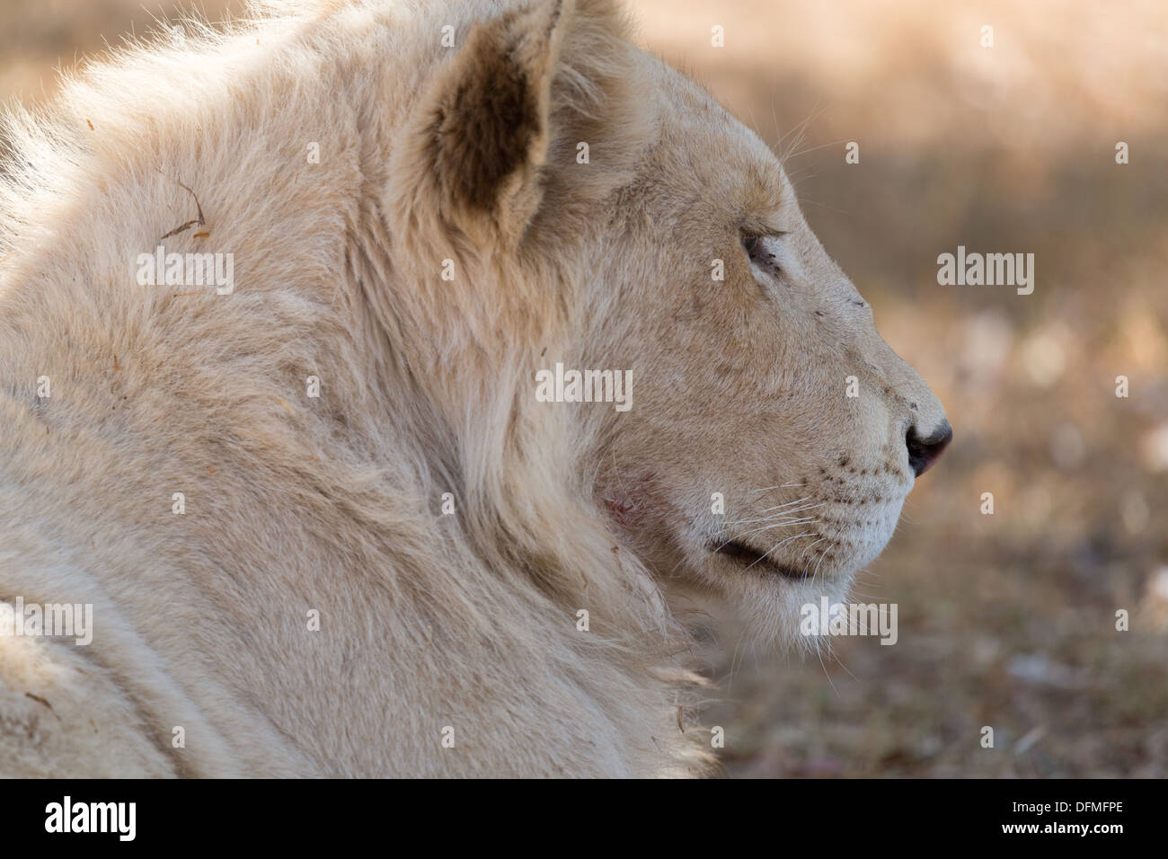 A young white male lion indigenous to South Africa - Stock Image