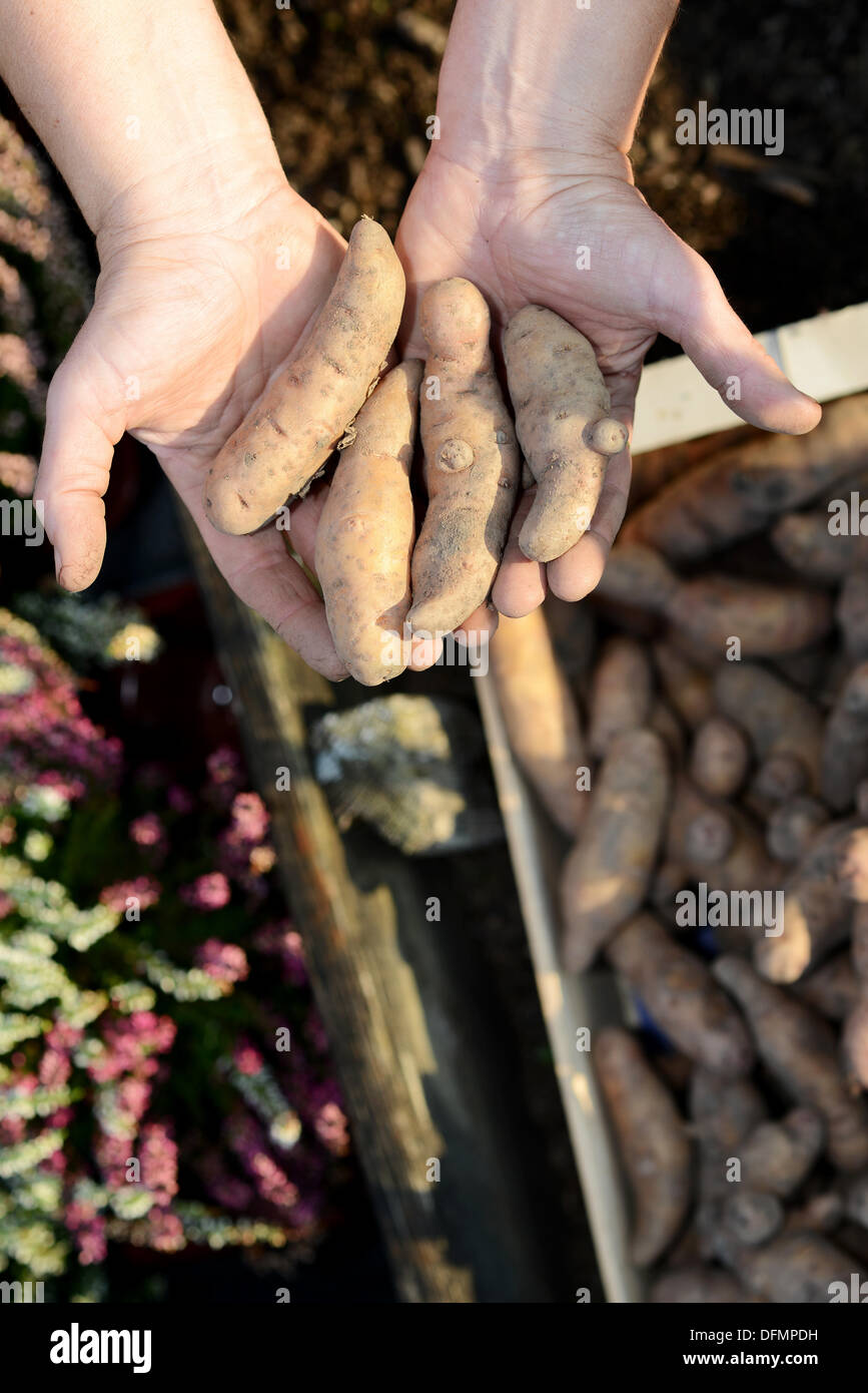 Bamberg, Germany. 07th Oct, 2013. A gardener holds potatos of the 'Bamberg potato' variety in Bamberg, Germany, 07 October 2013. The old Franconian potato variety has been admitted to the European registewr of regional specialities. Photo: DAVID EBENER/dpa/Alamy Live News - Stock Image