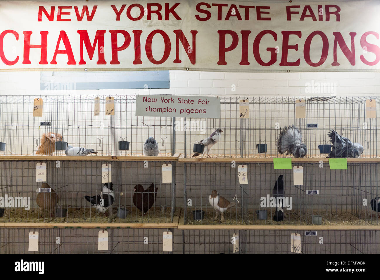 Champion pigeons, Great New York State Fair. - Stock Image