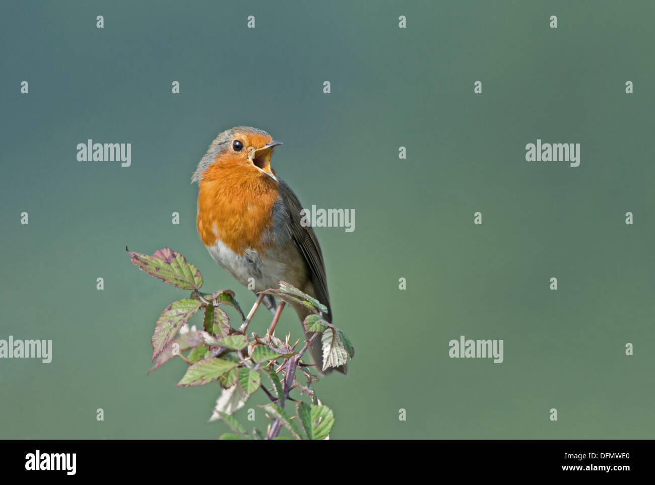 Robin,Erithacus rubecula singing. Uk - Stock Image