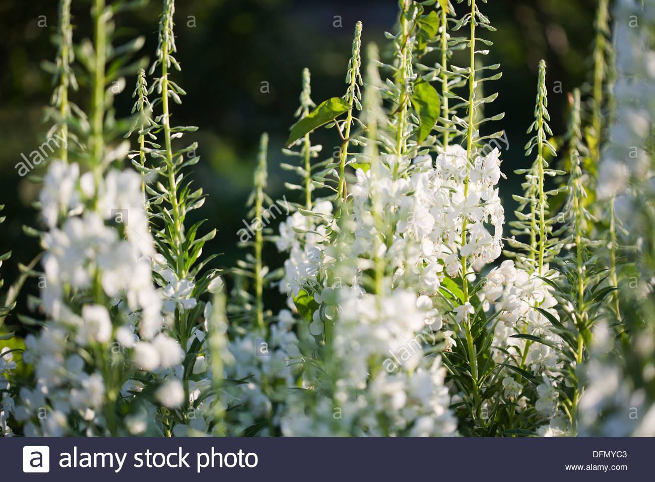 White willow herb