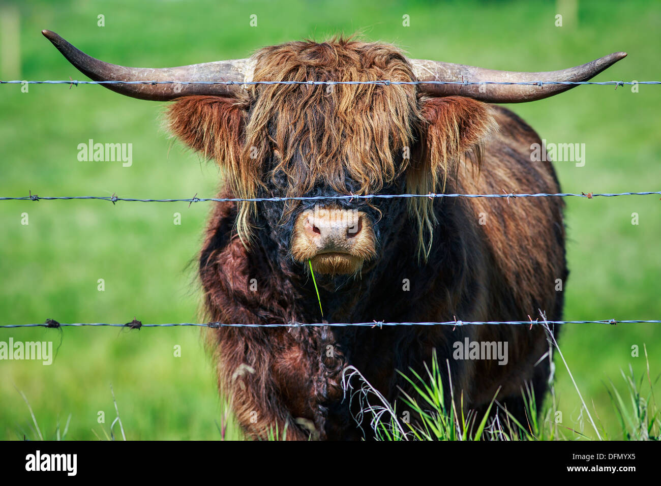 Portrait of Scottish Highland Cattle behind barbed wire, Kananaskis Country, Alberta, Canada - Stock Image