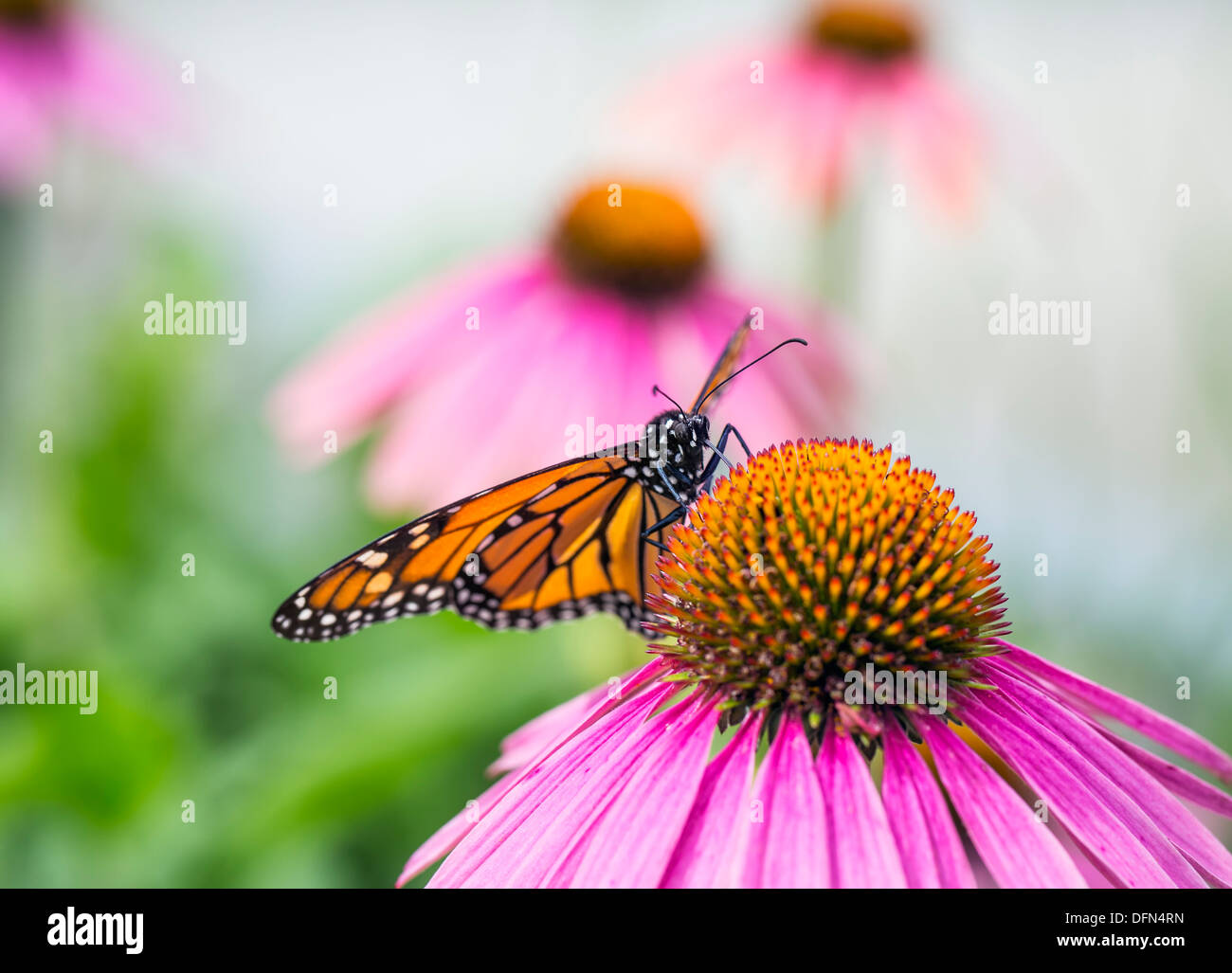 Monarch Butterfly (Danaus plexippus) feeding on Purple Coneflower nectar, Winnipeg, Manitoba, Canada - Stock Image