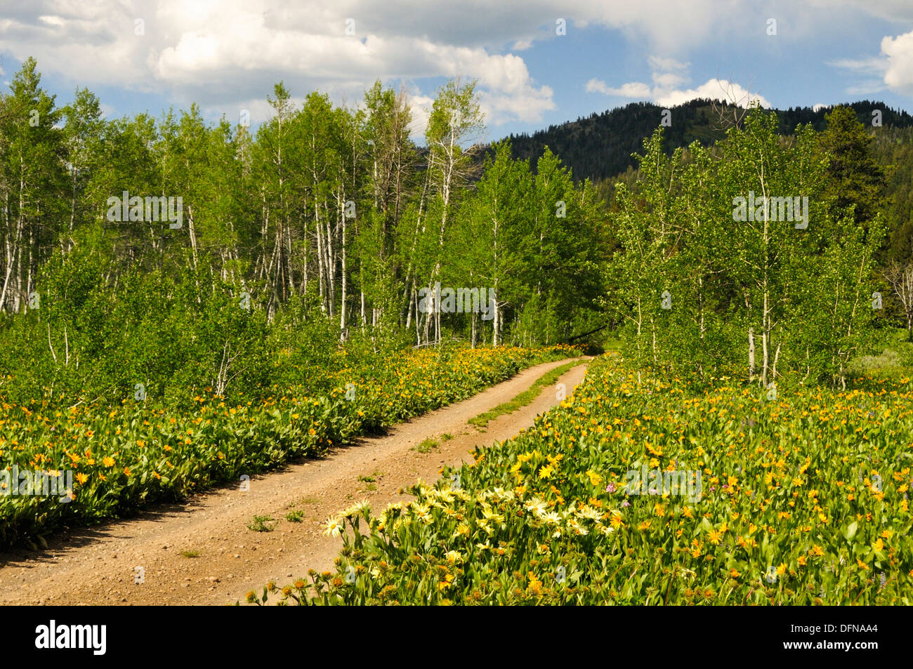 Dirt road through wildflowers disappears into quaking aspens - Stock Image