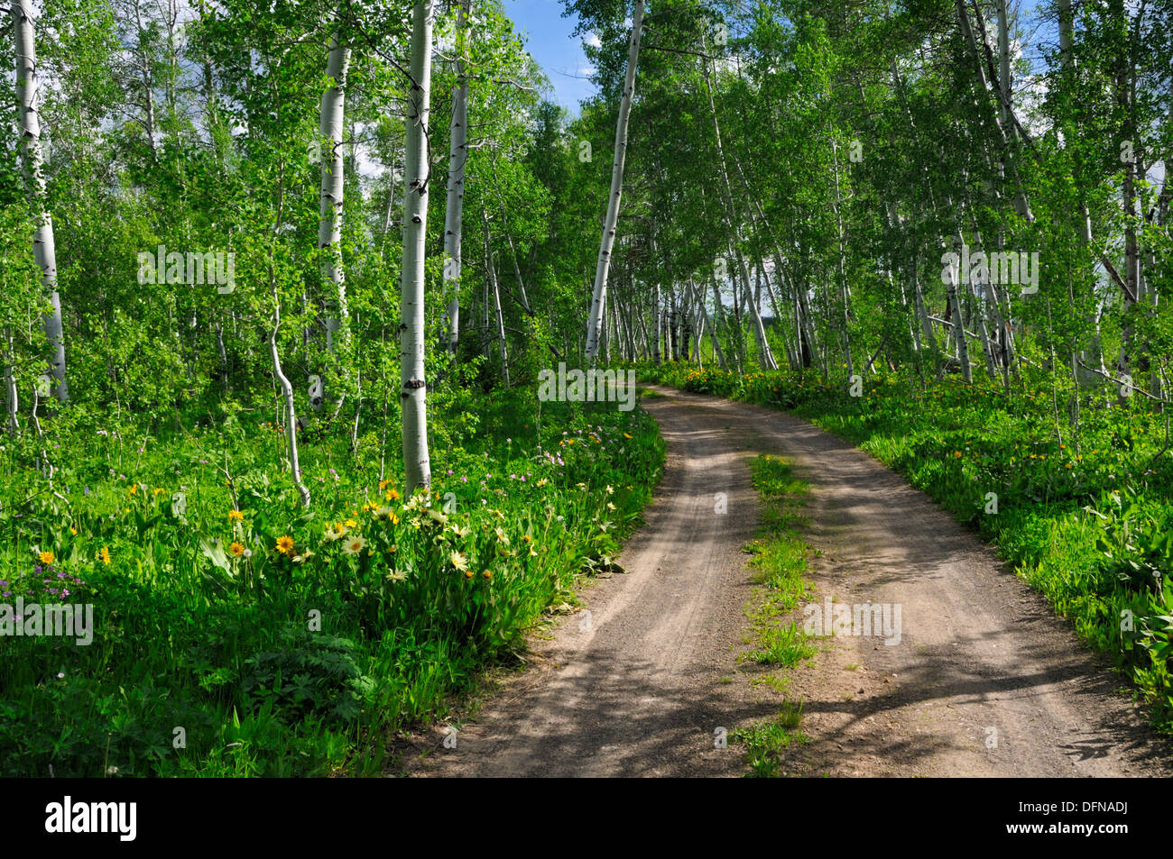 Dirt road through wildflowers vanishes into quaking aspens - Stock Image