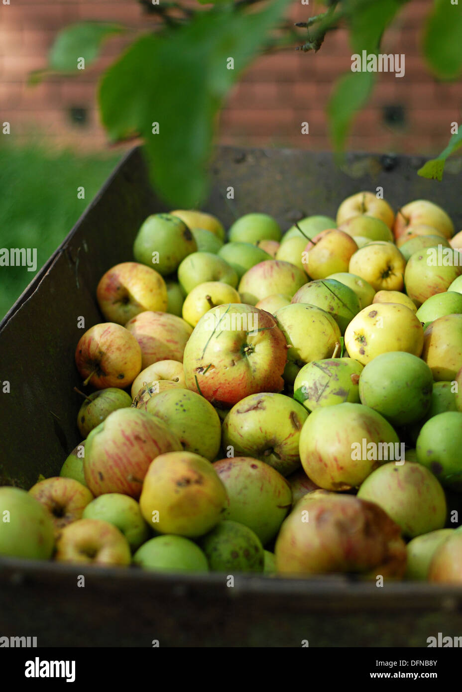picked apples in a wheelbarrow in  autumn - Stock Image