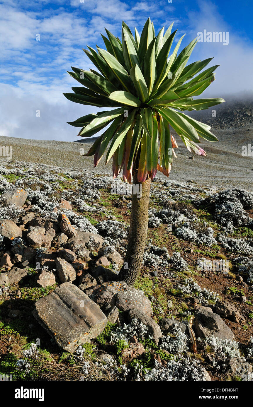 giant Lobelia on the Sanetti Plateau, Bale Mountains National Park, Oromia, Ethiopia, Africa Stock Photo