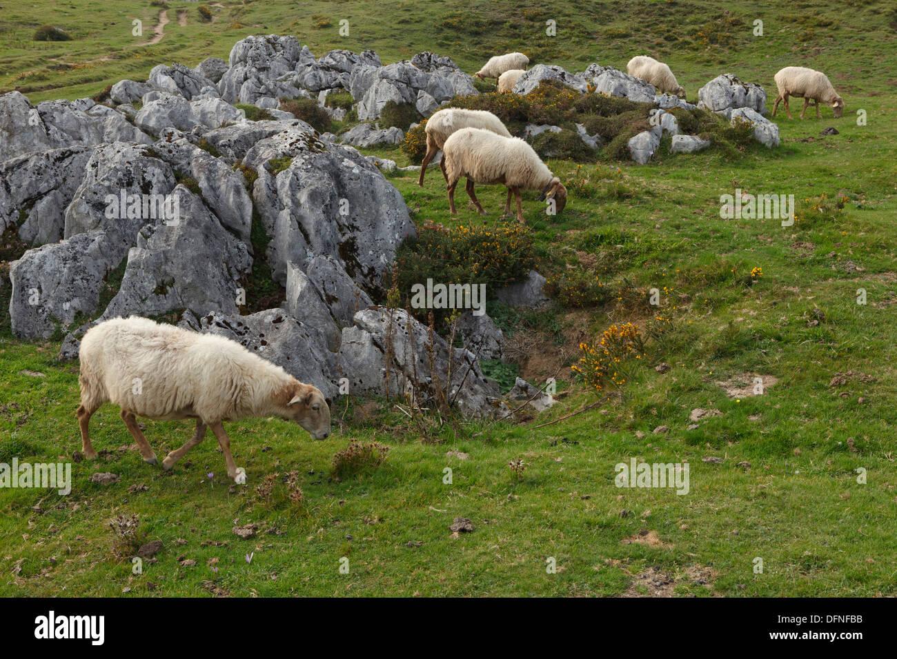 Sheep on a mountain pasture, Majadas Las Boblas, western Picos de Europa, Parque Nacional de los Picos de Europa, Picos de Europ - Stock Image