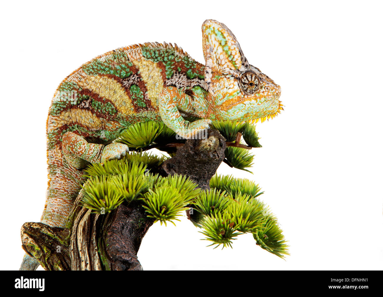 yemen chameleon in a host of artificial white background - Stock Image
